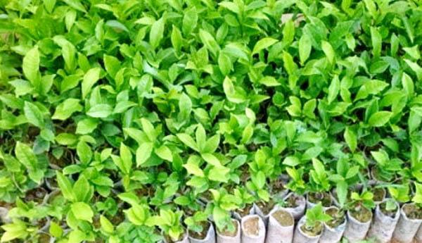 cách trồng chè Thái Nguyên