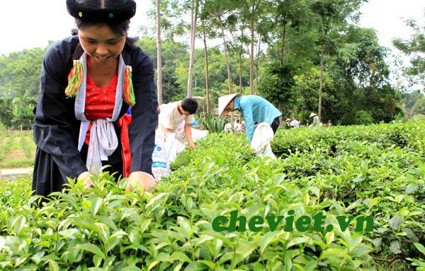 Chè tân cương tại Hà Nội