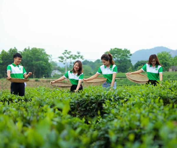 Chè Thái Nguyên Minh Cường được sản xuất từ những đồi chè VietGAP