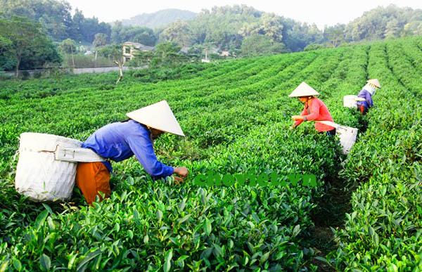 Thái Nguyên mở rộng diện tích chè VietGAP