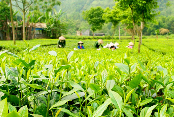 Vùng chè Thái Nguyên ngon nhất