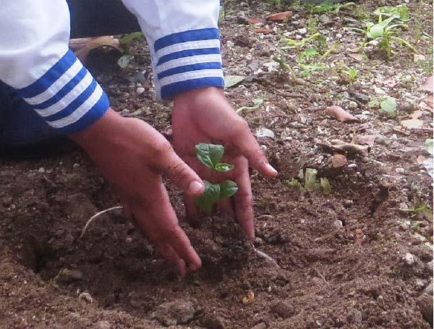 trồng chè thái  nguyên ở đảo