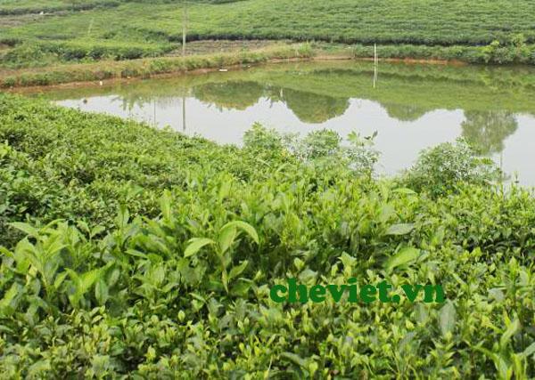 Sản xuất chè hữu cơ Thái Nguyên