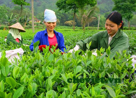 Hái chè Thái Nguyên