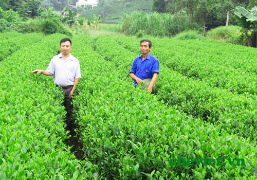 vùng Chè Văn Hán