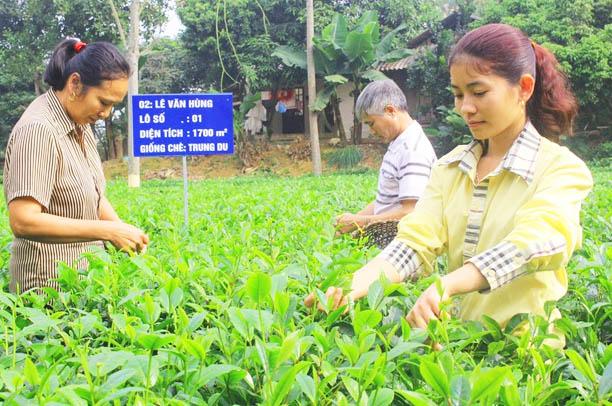 người trồng chè Thái Nguyên sẽ được vinh danh