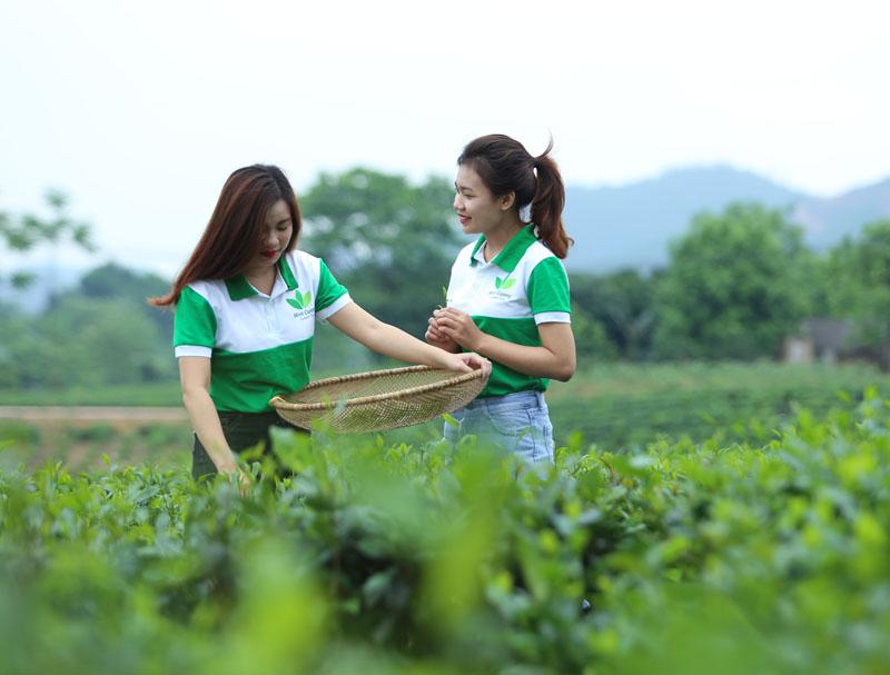 Chuỗi sản xuất chè Thái Nguyên khép kín bảo đảm chất lượng SP.