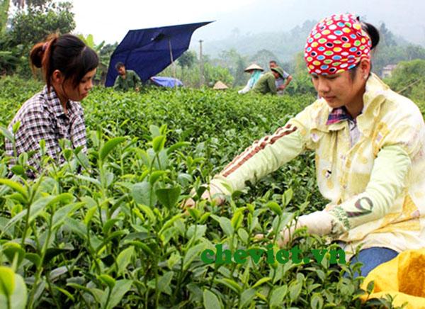 Chè Thái Nguyên chủ yếu phục vụ thị trường trong nước.