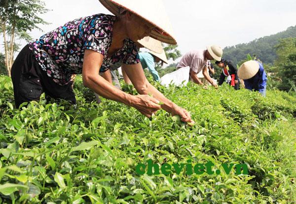 Sản xuất chè tiêu chuẩn VietGAP ở Thái Nguyên