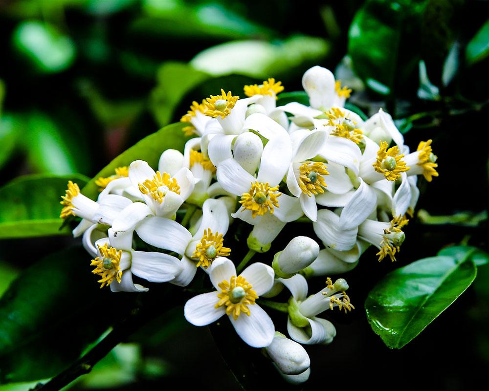 hoa bưởi thơm