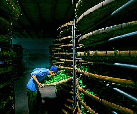 sản xuất trà ô long bạch tuyết