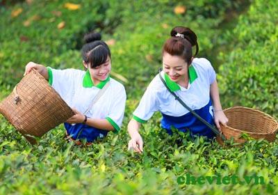 Jenifer Phạm hái chè