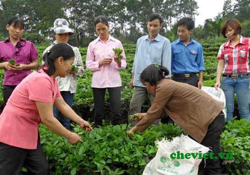 Sản xuất chè sạch Thái Nguyên