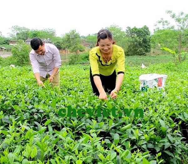 sản xuất chè Thái Nguyên