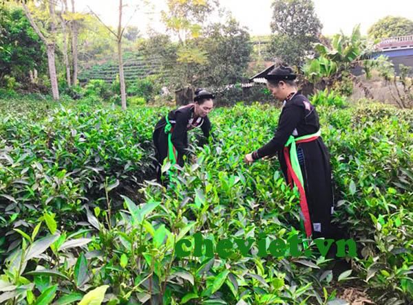 Trà xanh thái nguyên bị tẩm hóa chất độc hại