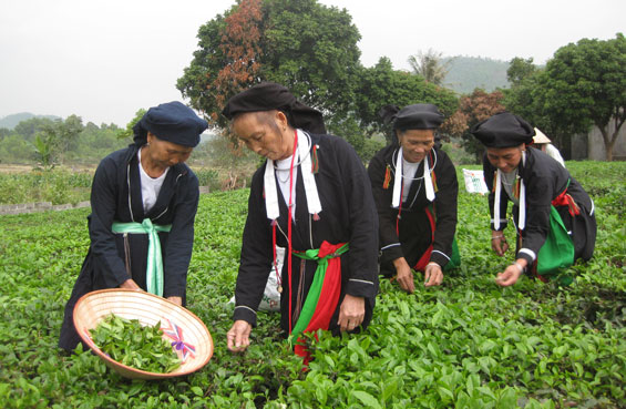 vùng chè Thái Nguyên
